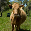 Curious cow, California<br /> Grass fed beef in the Sierras