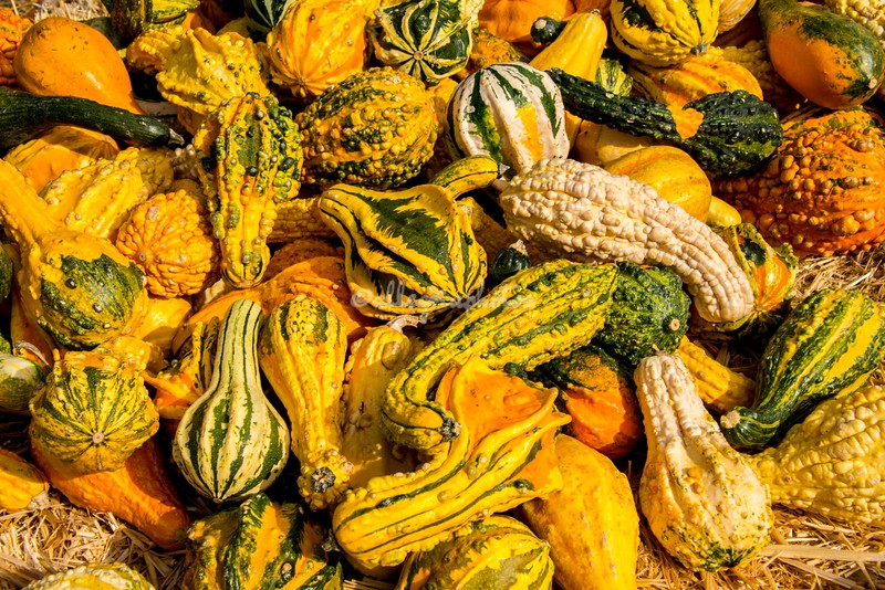 Autumn gourds