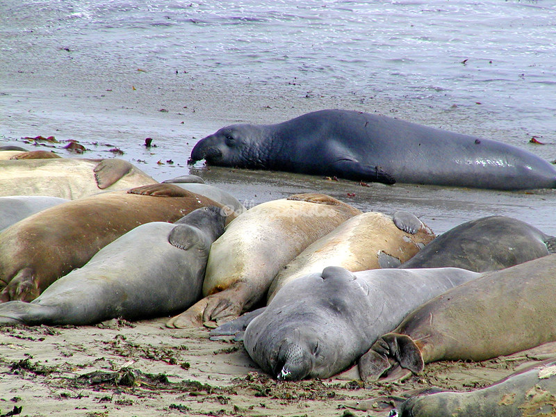 Elephant seals, California