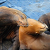 Affectionate sea lions, San Francisco