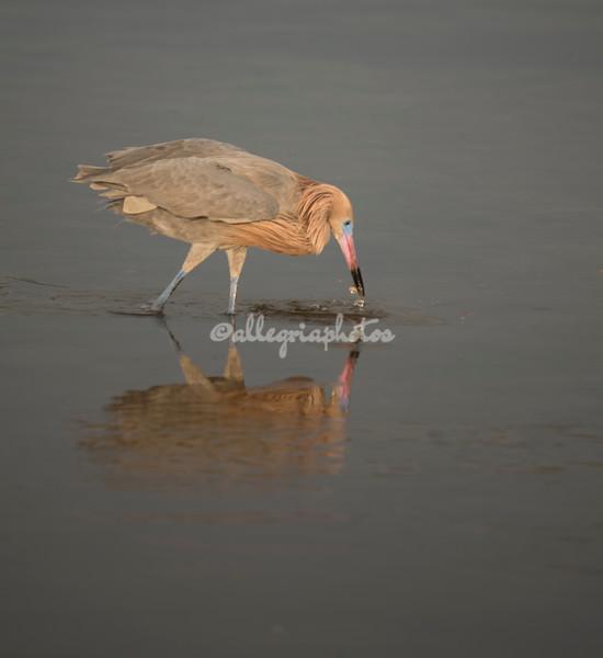 Reddish Egret, Sanibel