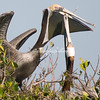 Pelicans, Sanibel