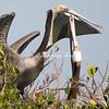 Pelicans, Sanibel