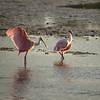 Roseate Spoonbills, Sanibel