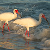 A pair of red billed ibis in the surf