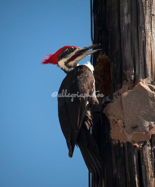 Pilested woodpecker, Sanibel