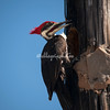 Pilested woodpecker, Sanibel