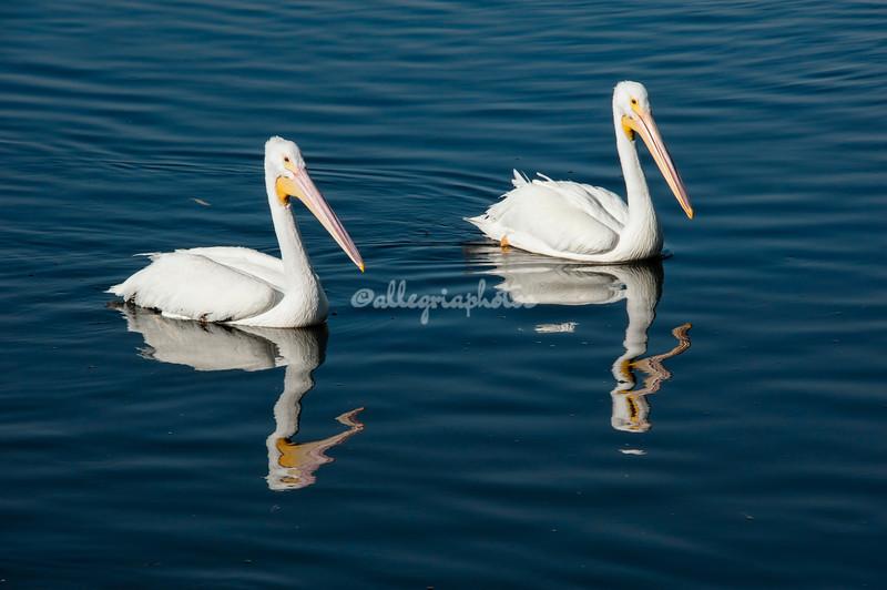 White Pelicans, Sanibel