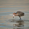 Reddish Egret, Sanibel