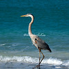 Great Blue Heron, Sanibel