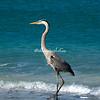 Great Blue Heron, Sanibel