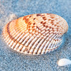 Atlantic Cockle, Sanibel