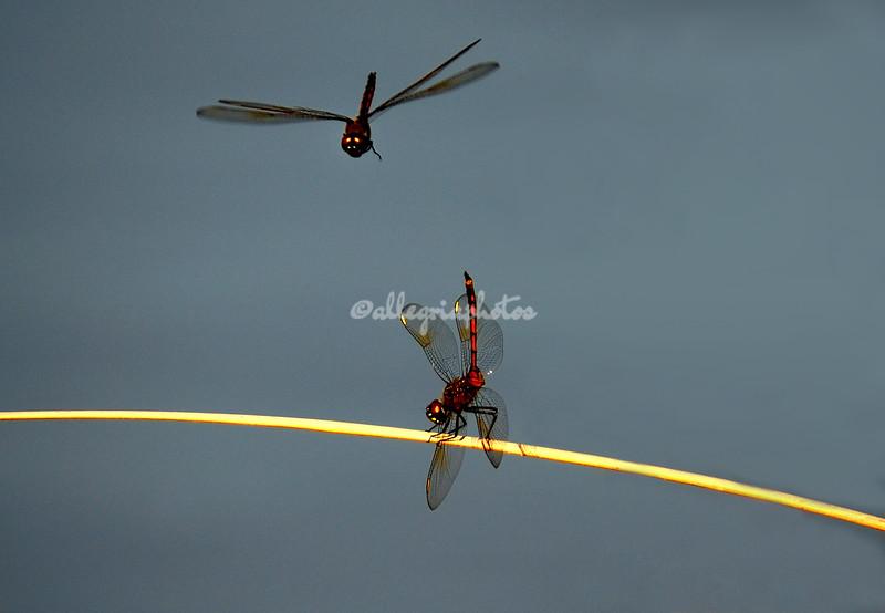 Dragonflies, Sanibel