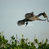 Cormorant, Sanibel