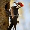 Pileated woodpecker, Sanibel
