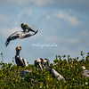 Brown Pelicans, Sanibel