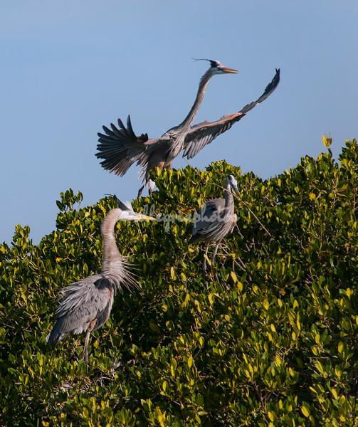 Great Blue Herons, Sanibel