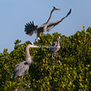Great Blue Herons, Sanibel