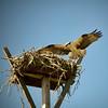 Osprey, Saibel