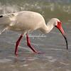 White Ibis, Sanibel
