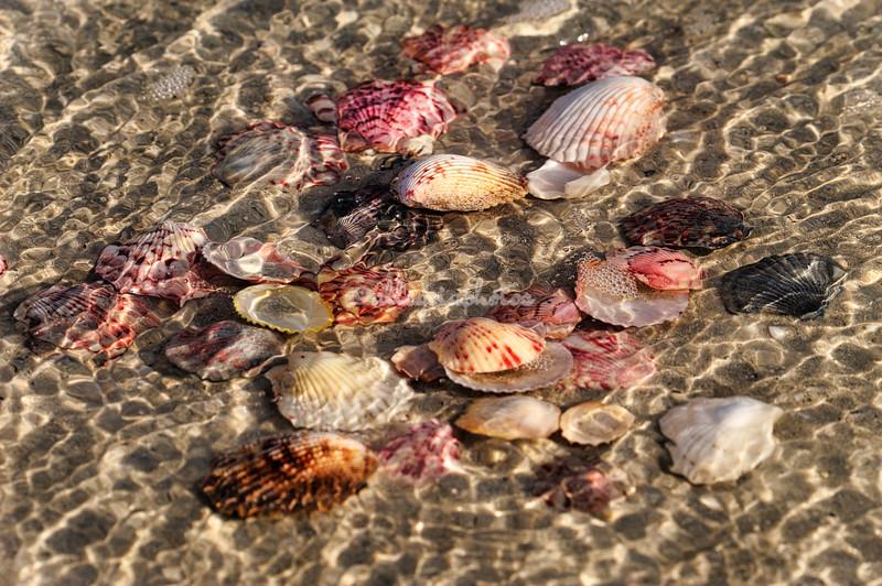 Scallop shells, Sanibel