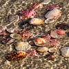 Scallop shells, Sanibel