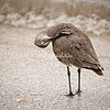 Willet, Sanibel