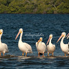 White Pelicans, Sanibel