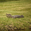Sanibel Alligator