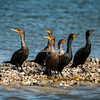 Cormorants, Sanibel