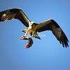 Osprey, Sanibel