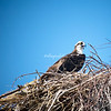 Osprey, Sanibel