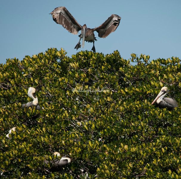 Brown Pelicans, Sanibel