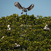Nesting Brown Pelicans, Tarpon Bay