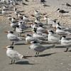 Flock of Royal Terns, Sanibel