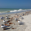 Terns at rest, Sanibel