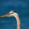 Great Blue Hero, Sanibel