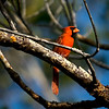 Cardinal, Sanibel