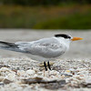Royal Tern, Sanibel