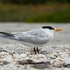 Royal Tern, Sanibel