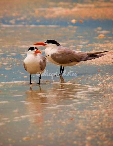 Royal Terns, Sanibel