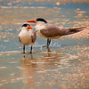 Royal Terns, Sanibel
