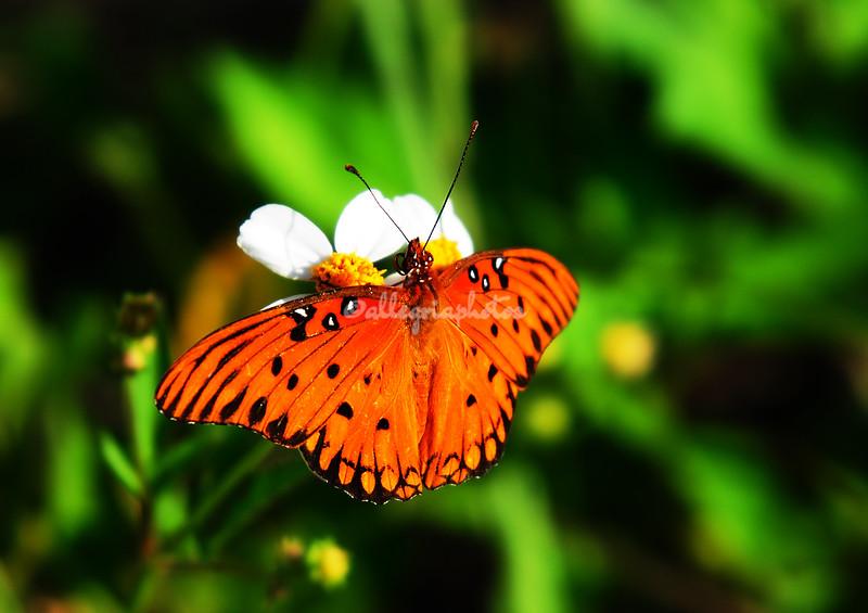 Butterfly, Sanibel
