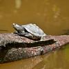 Turtle basking in the sun