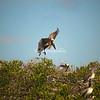 Pelican, Sanibel