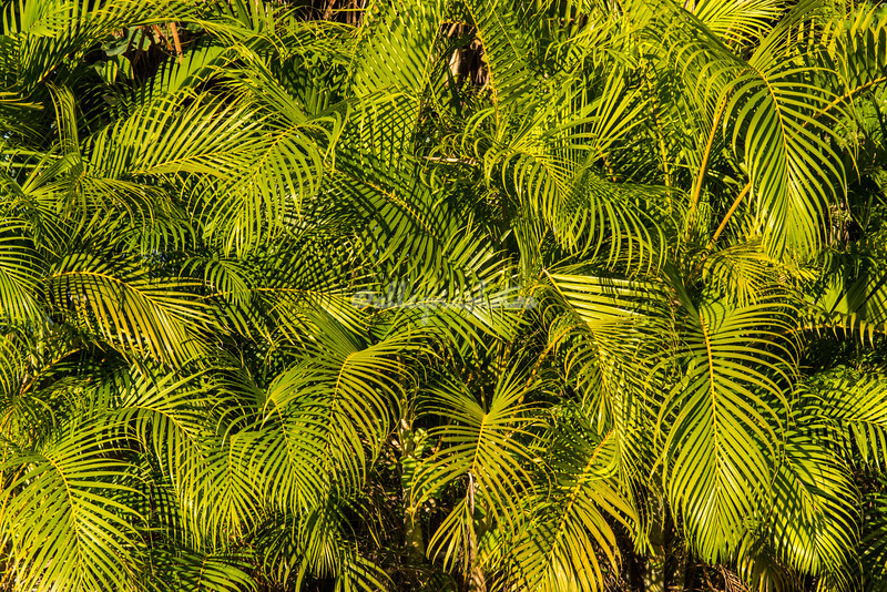 Palm Leaves, Kealakekua Bay