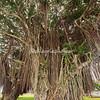 Banyan Tree, Hilo