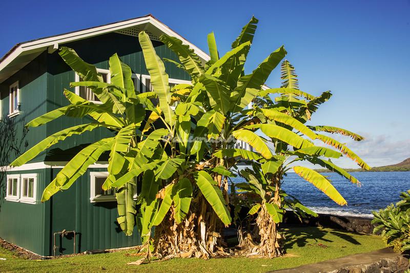 Banana Trees, Kealakekua Bay