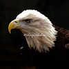An American Bald Eagle surveys the land