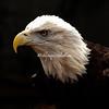 An American Bald Eagle surveys the land
